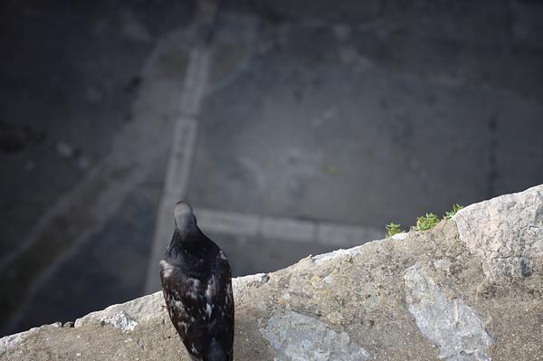 Pigeon in Dubrovnik