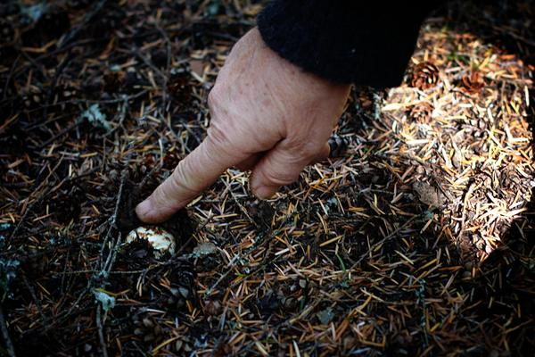 Mom Uncovering a Pine Mushroom