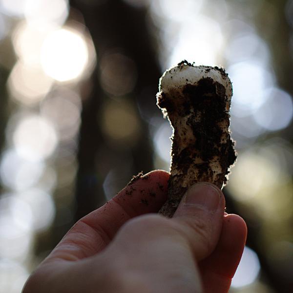 Pine Mushroom Button