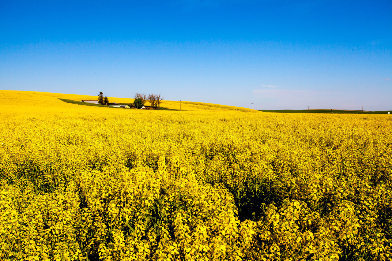 Canola Fields in Palouse